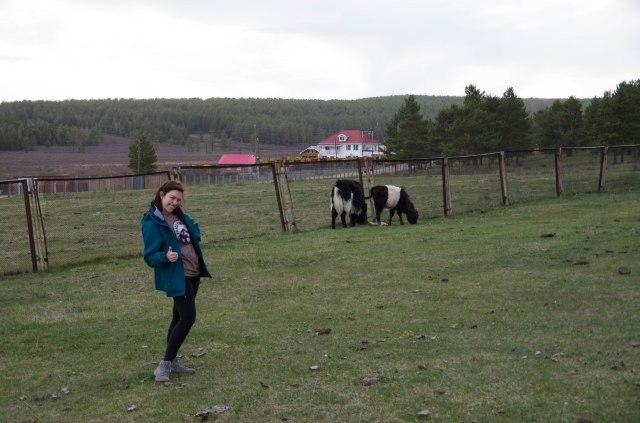 Mongolian cows.